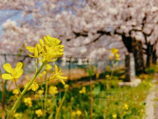 桜の写真・画像素材[1091659]