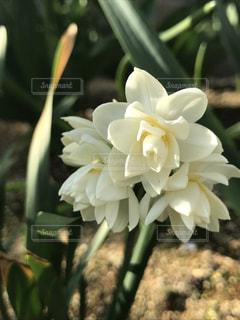 庭の白い花の写真・画像素材[1105979]