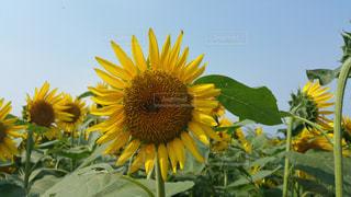 黄色の花の写真・画像素材[1080275]