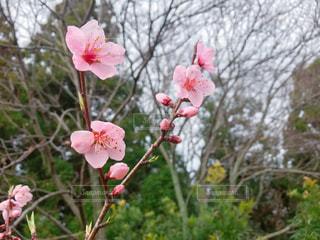 桃の花の写真・画像素材[1080531]