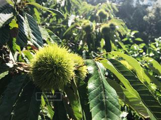 栗の木の写真・画像素材[1080544]