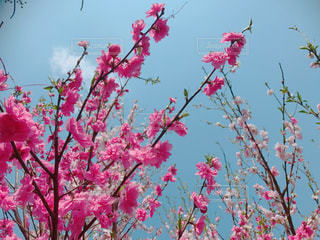 花桃の木の写真・画像素材[1098619]