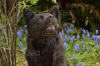 黒い犬(甲斐犬)と自然の写真・画像素材[1112663]