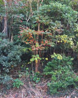 森の大きな木の写真・画像素材[1080647]
