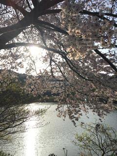 水辺の桜の写真・画像素材[1080764]