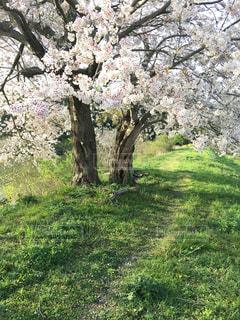 桜の土手道の写真・画像素材[1080765]