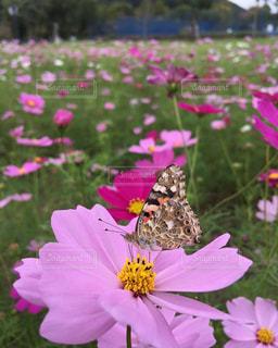 コスモスの蜜を吸う蝶々の写真・画像素材[1081021]