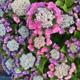 紫陽花の写真・画像素材[1085206]