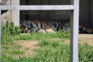 芝生でお昼寝タイムのタイガーの写真・画像素材[1080794]