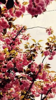 春桜の写真・画像素材[1081193]