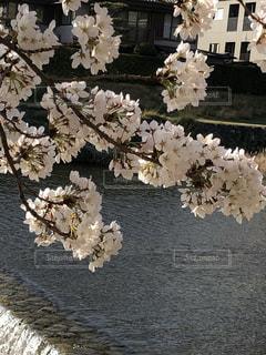 高野川の桜@京都の写真・画像素材[1089744]
