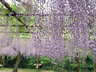 藤の花の写真・画像素材[1082443]