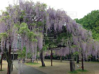 大きな藤の木の写真・画像素材[1082445]