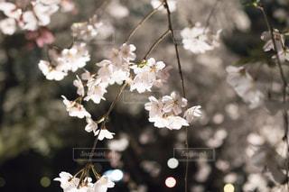 夜桜の写真・画像素材[1081282]