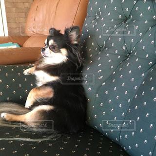 ソファに座りテレビを見る犬の写真・画像素材[1081332]