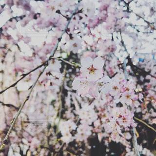 桜の写真・画像素材[1081799]