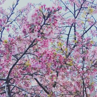 cherry blossomsの写真・画像素材[1081800]
