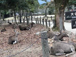 鹿軍団の写真・画像素材[1082141]
