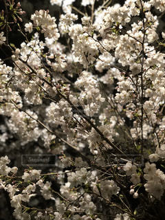 夜桜 桜をアップの写真・画像素材[1081933]
