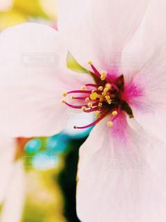 桜の花の写真・画像素材[1100745]