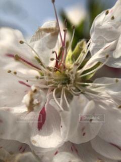桜の花4の写真・画像素材[1100754]