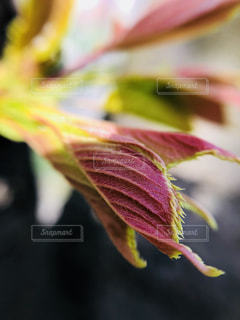 桜の新芽の写真・画像素材[1100759]