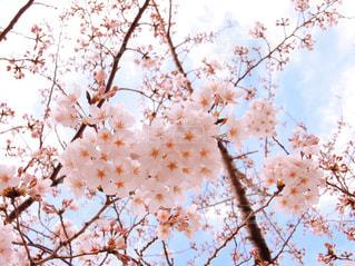 桜の写真・画像素材[1095297]