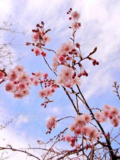 桜の写真・画像素材[1095298]