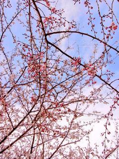 桜の蕾の写真・画像素材[1095300]
