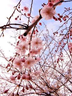 桜の写真・画像素材[1101749]
