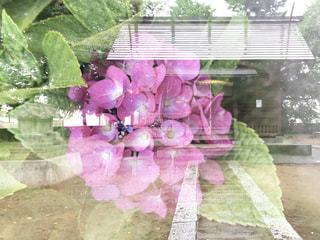 紫陽花神社の写真・画像素材[1256151]