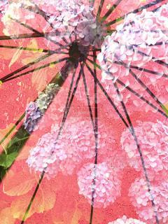 紫陽花と傘の写真・画像素材[1256152]