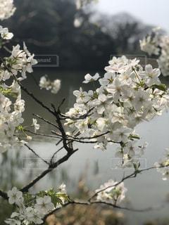 桜の写真・画像素材[1082796]