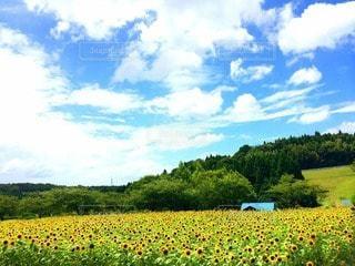 ひまわり畑の小さなお家の写真・画像素材[78432]