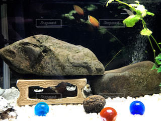 熱帯魚の写真・画像素材[808362]