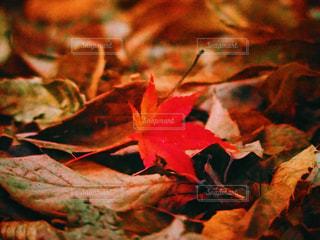 もみじの葉が枯れ葉の上で映えていますの写真・画像素材[1083222]