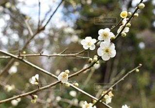 満開の梅の写真・画像素材[1793670]