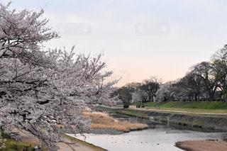 鴨川沿いの桜の写真・画像素材[2046102]