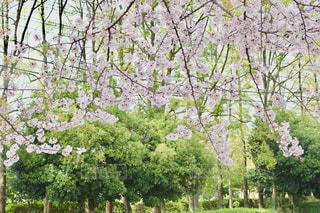 桜のカーテンの写真・画像素材[1100506]