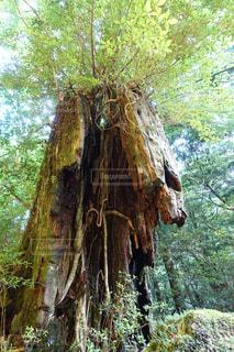 朽ちる大木の写真・画像素材[1083360]