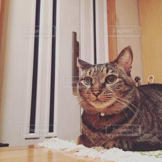 玄関前でご主人の帰りを待ちわびる猫の写真・画像素材[1083290]