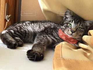カーテンの上に乗っかってくつろぐ子猫の写真・画像素材[1083429]