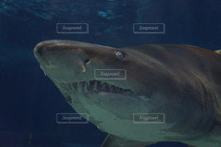 サメの写真・画像素材[1085309]