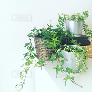 部屋の観葉植物の写真・画像素材[1102334]