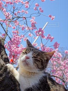 木の上でお花見をするネコの写真・画像素材[1084123]