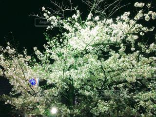 夜桜の写真・画像素材[1095460]