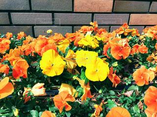 オレンジ色の花の写真・画像素材[1101468]