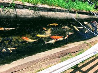沢山の鯉の写真・画像素材[1205803]