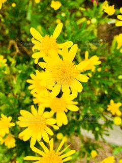 黄色の花の写真・画像素材[1640883]