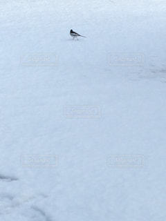 雪原の鳥の写真・画像素材[1090474]
